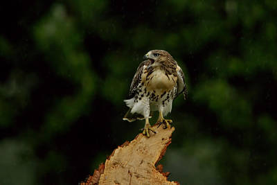 Photograph - Hawk In The Storm by William Jobes