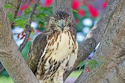 Hawk In Tree 2 Art Print