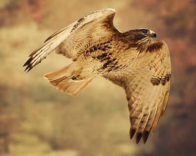 Hawk Art Print by Jody Trappe Photography
