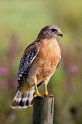 Photograph - Hawk On A Post by Ira Runyan