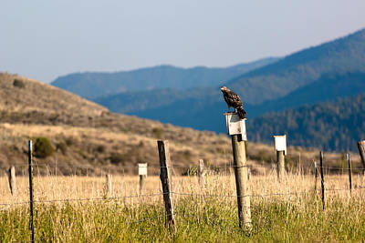 Photograph - Hawk On Pole by Chris Fullmer