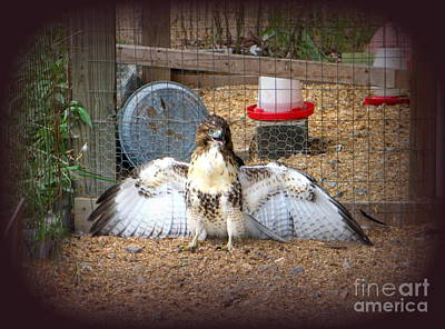 Photograph - Hawk Spreading Wings . Guarding His Lunch When He Broke Into Hen House by Renee Trenholm