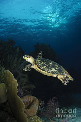 Reptiles Royalty-Free and Rights-Managed Images - Hawksbill Sea Turtle Swimming by Todd Winner