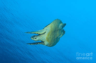 Hawksbill Turtle In The Diving Art Print