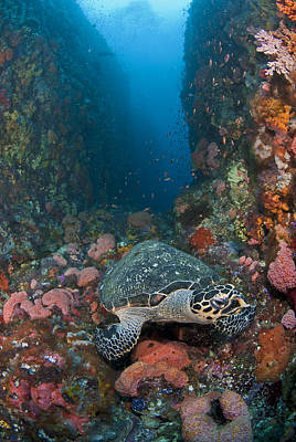 Y120831 Photograph - Hawksbill Turtle On Reef by Jones/Shimlock-Secret Sea Visions