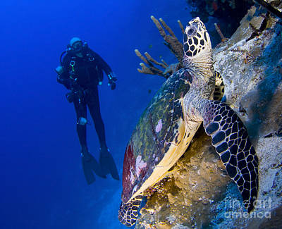Reptiles Royalty-Free and Rights-Managed Images - Hawksbill Turtle Resting On A Reef by Steve Jones