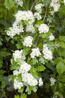 Rosaceae Photograph - Hawthorn (crataegus Monogyna) Blossom. by Duncan Shaw