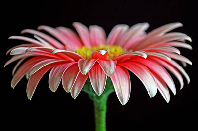 Gerber Daisy Photograph - He Loves Me...he Love Me Not by Melanie Moraga