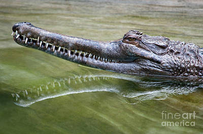 Crocodile Photograph - In The Swamp by Dan Holm