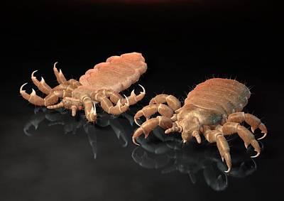 Head Louse Photograph - Head Lice, Artwork by David Mack