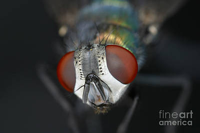 Photograph - Head Of A Green Blow Fly by Ted Kinsman