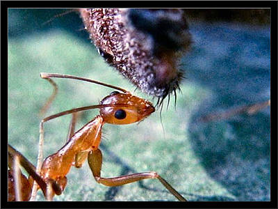 Photograph - Head Of An Ant 2002 by Glenn Bautista