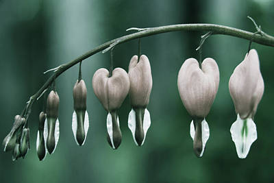 Anthurium Photograph - Heart Flower by Rudolf Vlcek