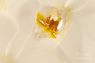 Photograph - Heart Of The Orchid by Sandra Bronstein