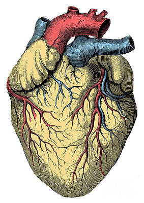 Photograph - Heart by Science Source