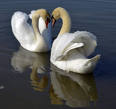 Pinion Photograph - Heart Swans by Brian Stevens