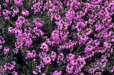 Heather 'accent' Flowers Print by Adrian Thomas