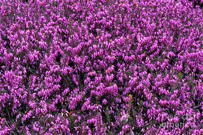 Heather 'david's Seedling' Flowers Print by Adrian Thomas