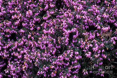 Heather 'gracilis' Flowers Print by Adrian Thomas