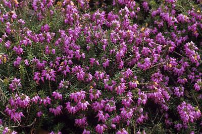 Heather 'heathwood' Flowers Print by Adrian Thomas