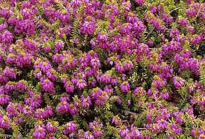 Heather 'king George' Flowers Print by Adrian Thomas
