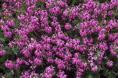 Heather 'rosalie' Flowers Print by Adrian Thomas