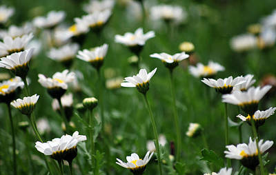 Photograph - Heavenly Daisies by Amee Cave