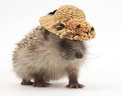 Photograph - Hedgehog With A Hat by Mark Taylor