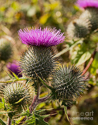 Hedgerow 2 Thistle Art Print