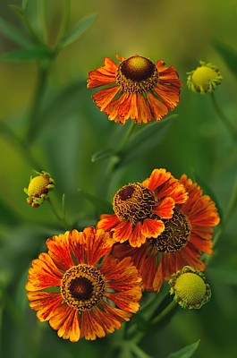 Photograph - Helenium by JHR photo ART