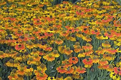 Helenium 'sahin's Early Flowerer' Art Print by Dr Keith Wheeler