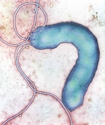 Campylobacter Pyloridis Photograph - Helicobacter Pylori Bacterium by Nibsc