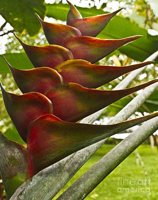 Heliconia Photograph - Heliconia I by Heiko Koehrer-Wagner