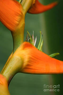 Photograph - Heliconia Latispatha by Sharon Mau