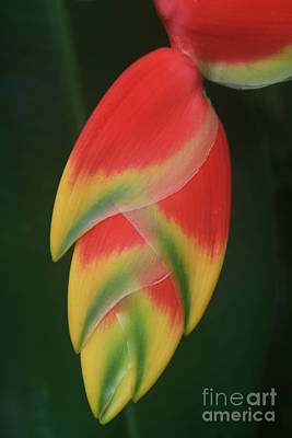 Lobster Claw Photograph - Heliconia Rostrata - Hanging Heliconia by Sharon Mau