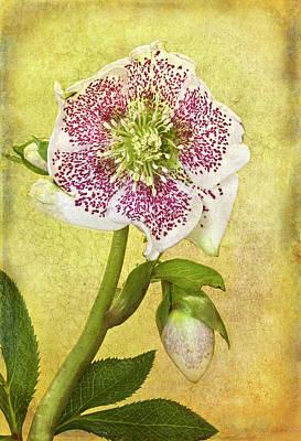 Hellebore Photograph - Hellebore Flower by © Leslie Nicole Photographic Art