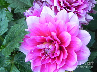 Photograph - Hello Dahlia by Sandra Goldner