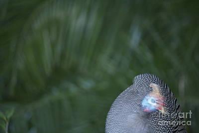 Wall Art - Photograph - Helmeted Guineafowl by Judith Hochroth