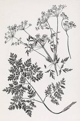 Toxicology Photograph - Hemlock, 19th Century Artwork by Middle Temple Library