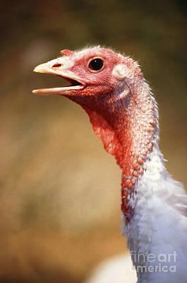Hen Turkey Portrait Art Print by Science Source