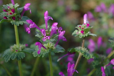 Photograph - Henbit Deadnettle 2 by Robyn Stacey