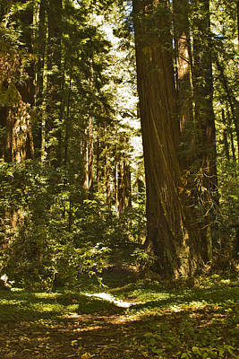 Henry Cowell Redwoods Late Summer Afternoon Art Print by Larry Darnell