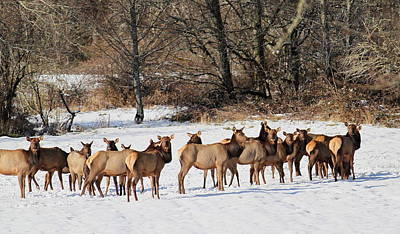 Photograph - Herd Of Elk by Angie Vogel