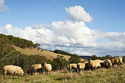 Bridgetown Photograph - Herd Of Sheep by Frances Andrijich