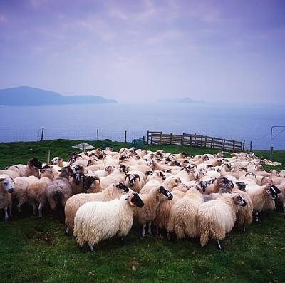 The Economy Photograph - Herding Sheep, Inishtooskert, Blasket by The Irish Image Collection