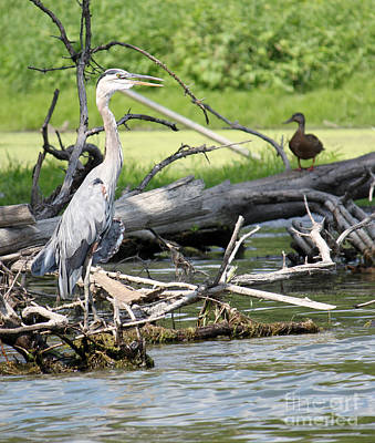 Art Print featuring the photograph Heron And Mallard by Debbie Hart