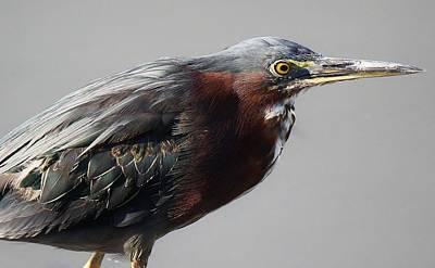 Heron Close Up Art Print by Paulette Thomas