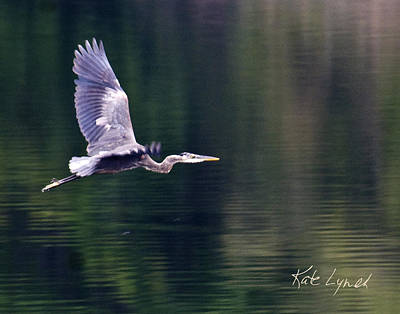 Photograph - Heron Glow by Kate Lynch