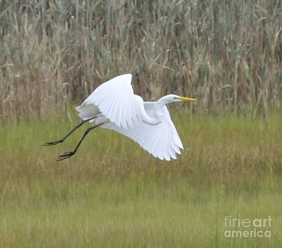 Grasses Photograph - Heron Over Connecticut Marsh by Cindy Lee Longhini