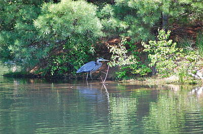 Heron Under Pines Art Print